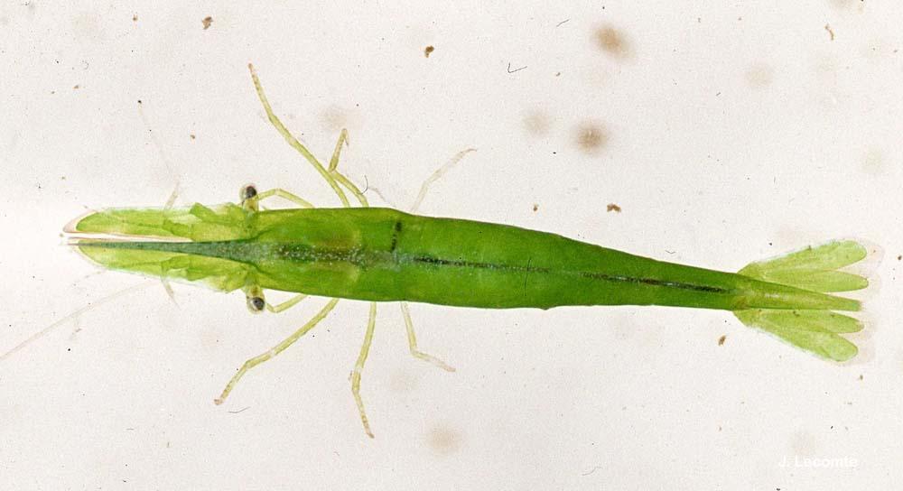 hippolyte inermis leach 1816 crevette d 39 herbiers la pr sentation. Black Bedroom Furniture Sets. Home Design Ideas