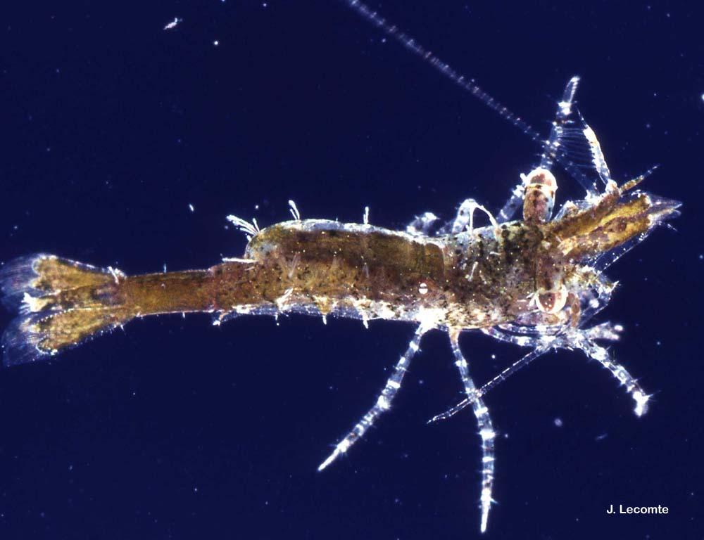 Hippolyte leptocerus