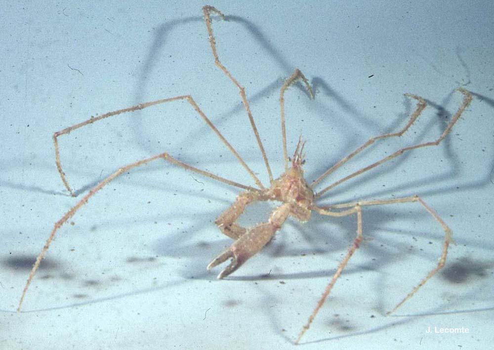 Macropodia longipes