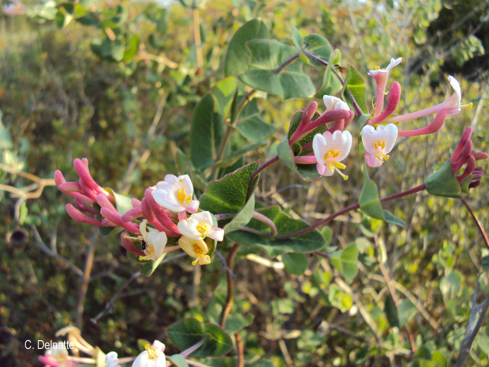 Lonicera implexa