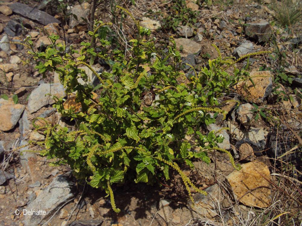 Heliotropium angiospermum