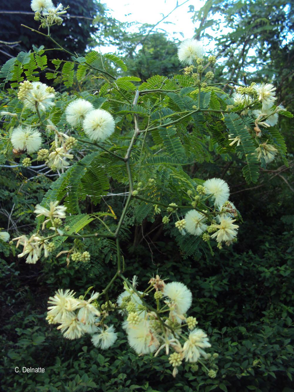 Acacia retusa