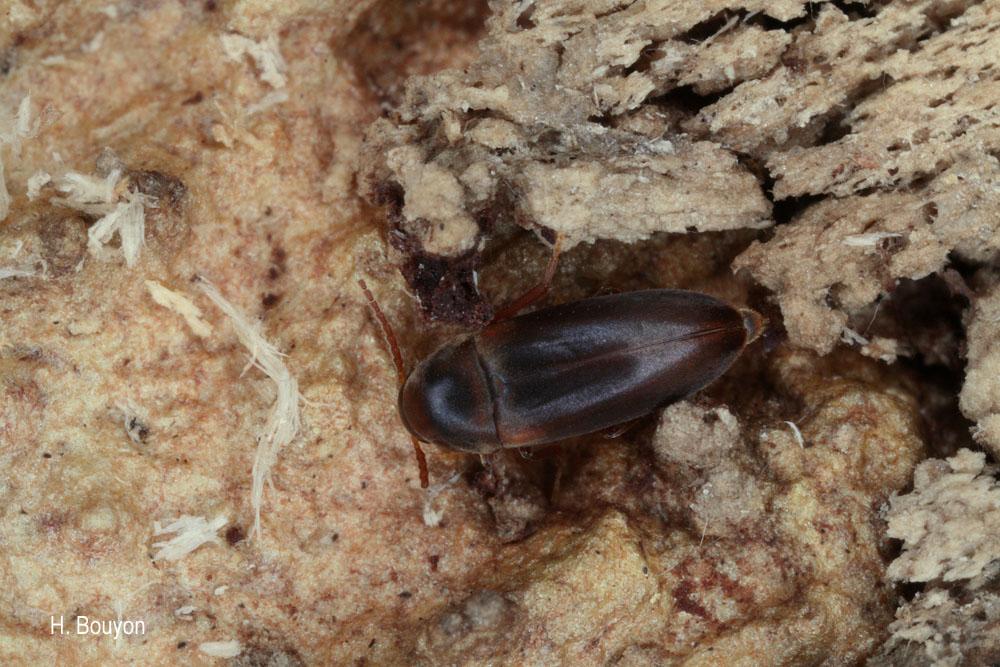 Abdera affinis