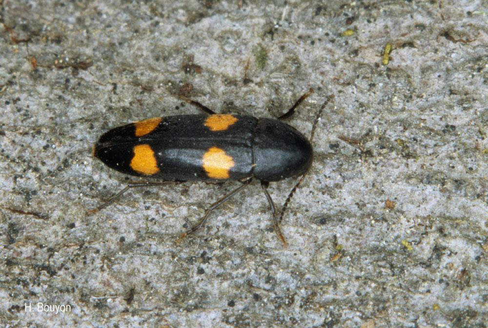 Dircaea australis