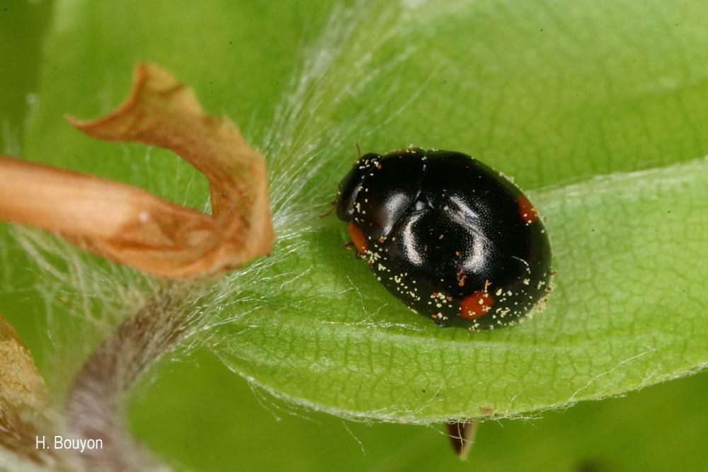 Hyperaspis campestris