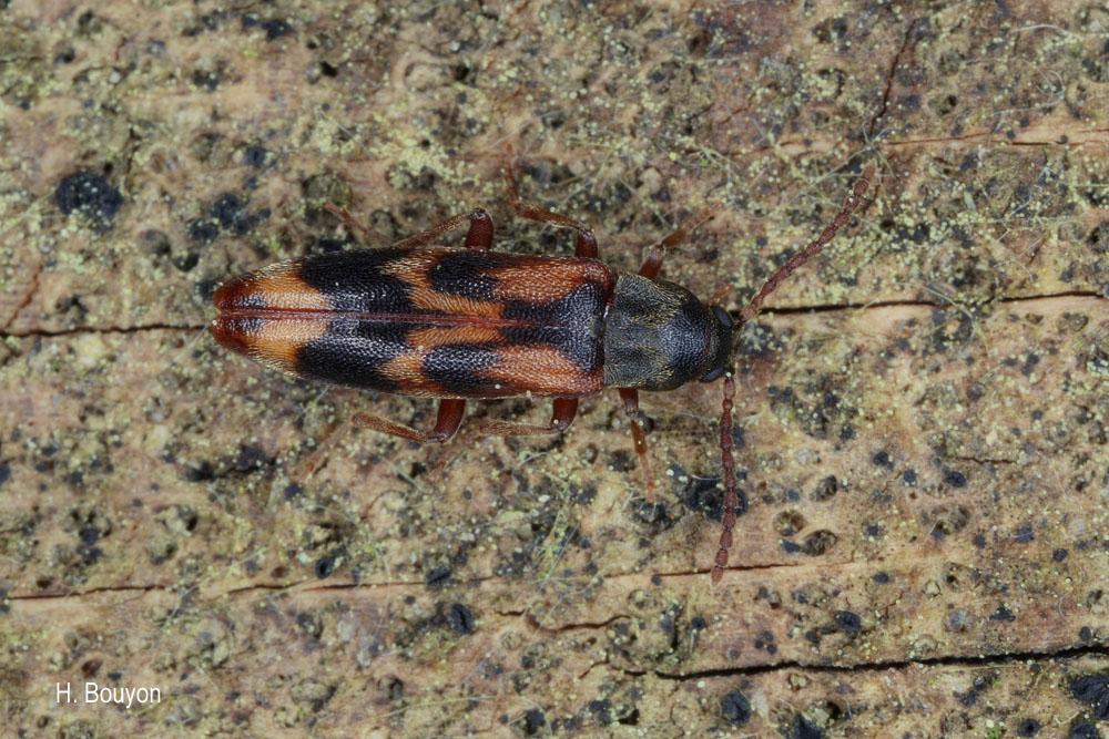 Hypulus quercinus