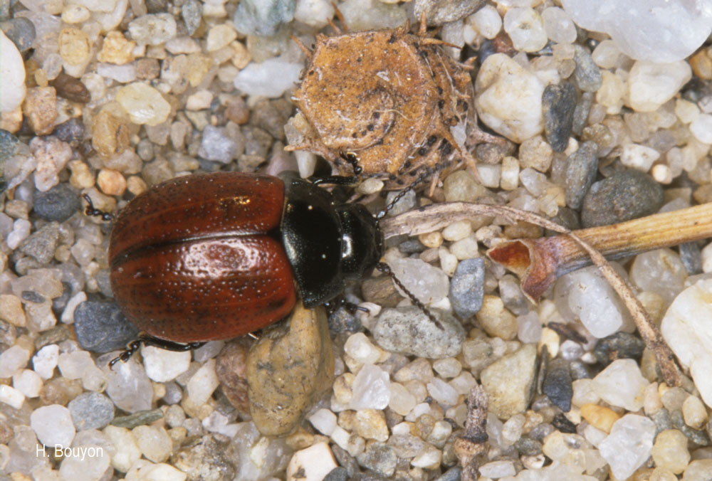 Chrysolina diluta