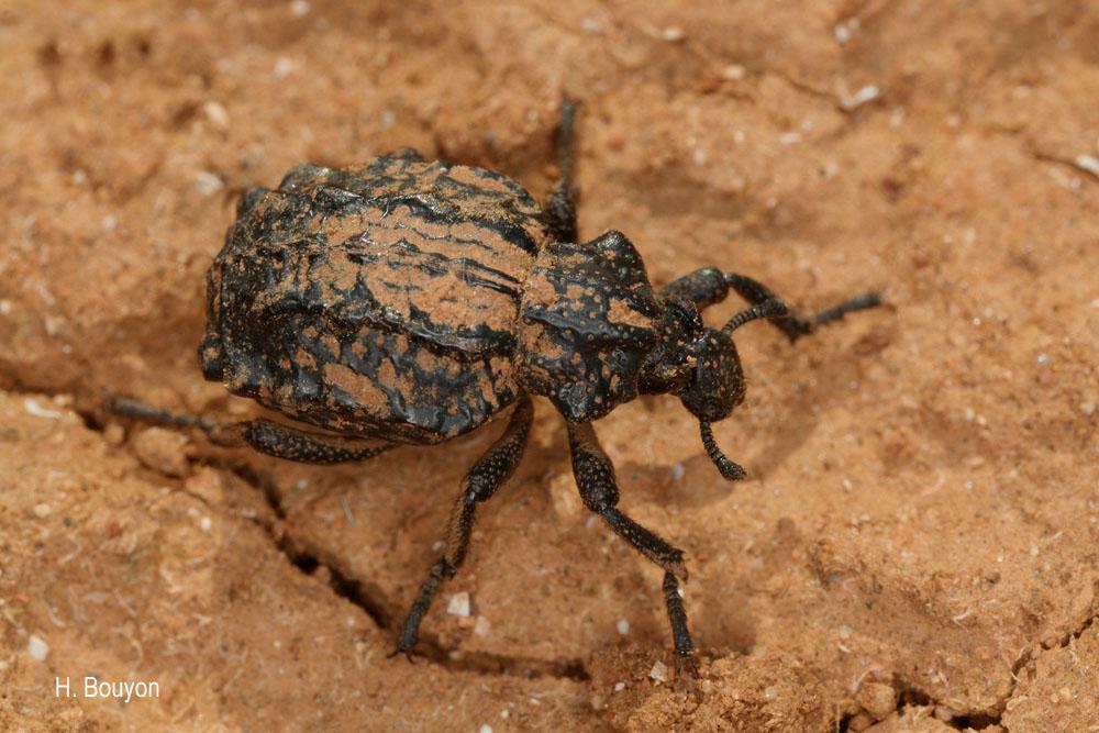 Brachycerus undatus