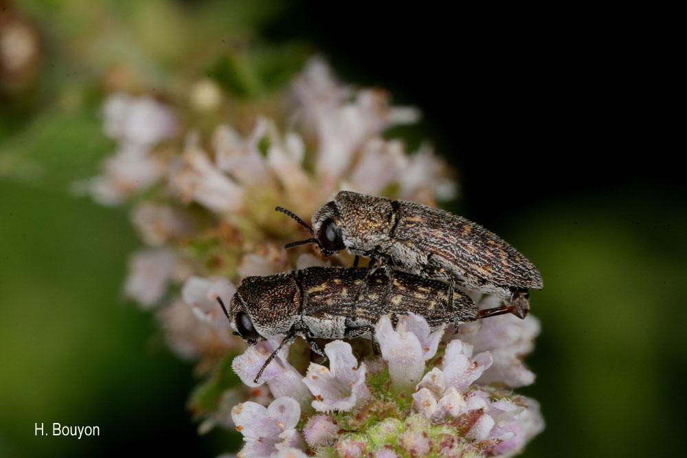 Acmaeoderella adspersula