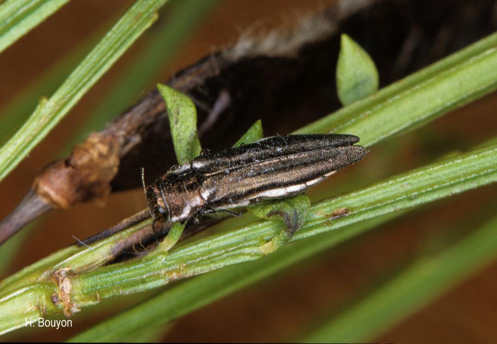 Agrilus cinctus