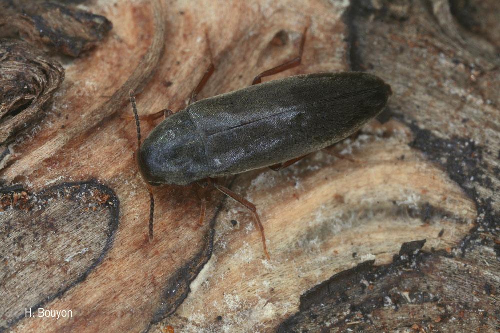 Phloiotrya rufipes