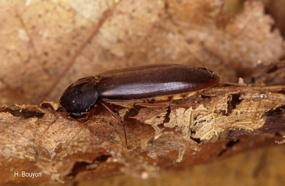 Phloiotrya tenuis