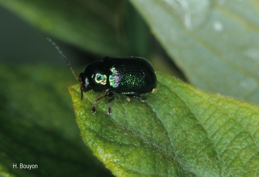 Cryptocephalus nitidulus