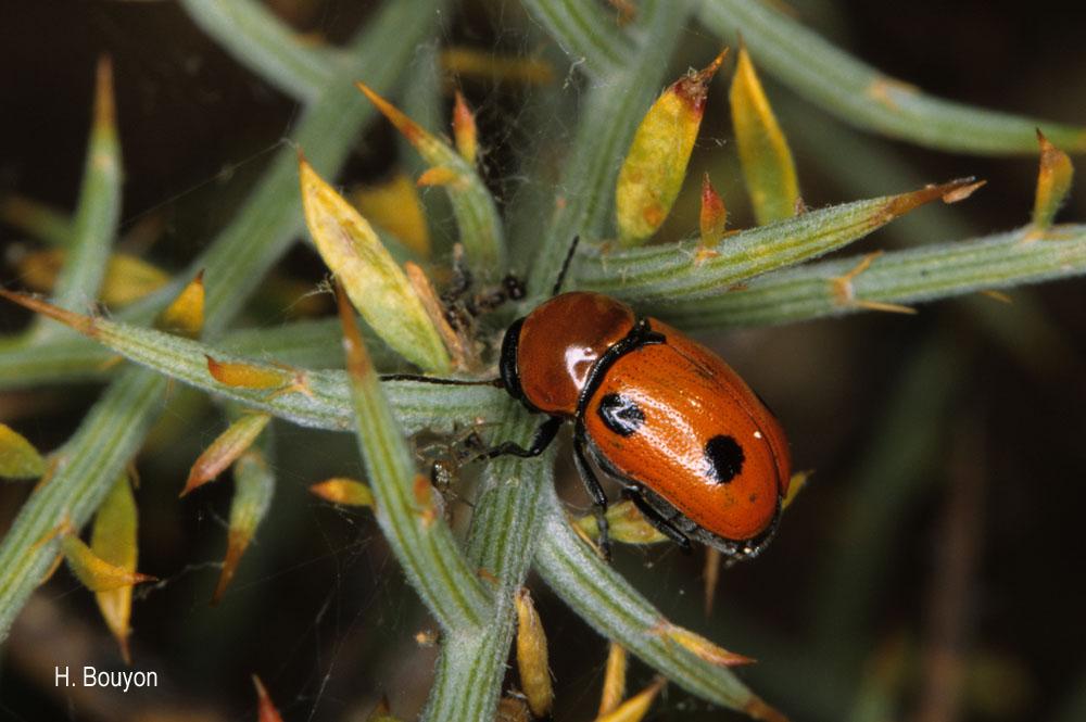 Cryptocephalus pominorum