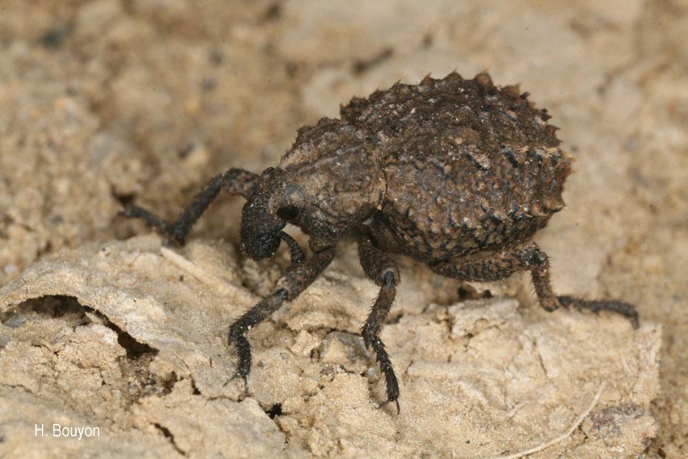 Brachycerus muricatus