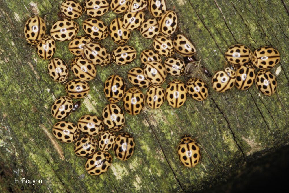 Tytthaspis sedecimpunctata