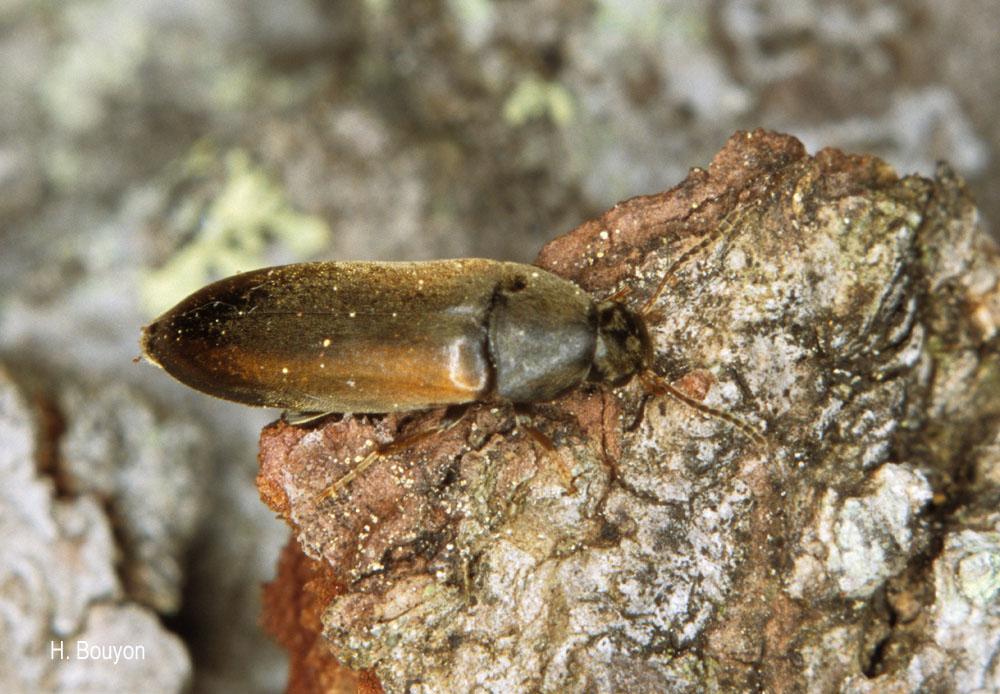 Dolotarsus lividus
