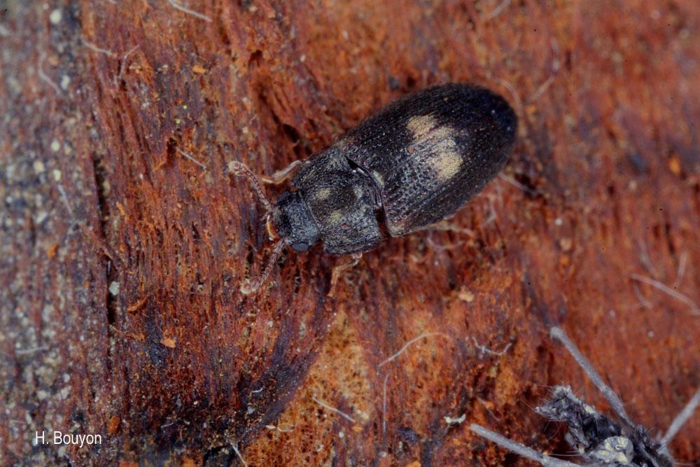 Biphyllus lunatus