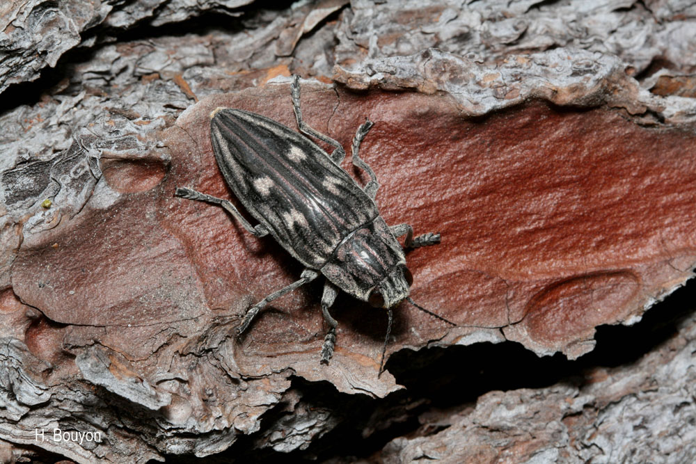 Chalcophora intermedia