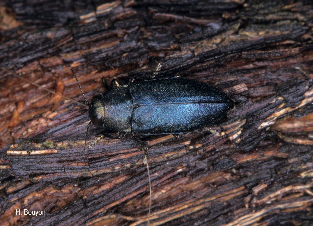 Phaenops cyanea