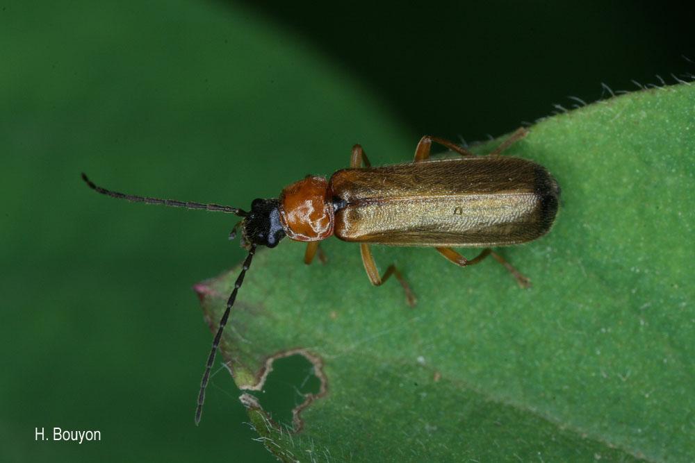 Rhagonycha nigriceps