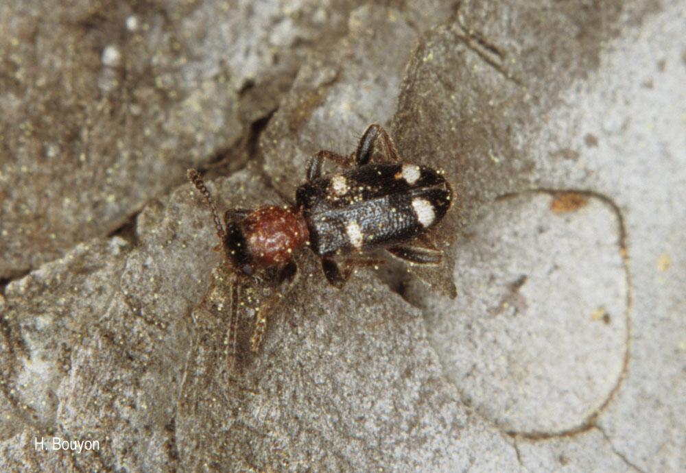 Allonyx quadrimaculatus