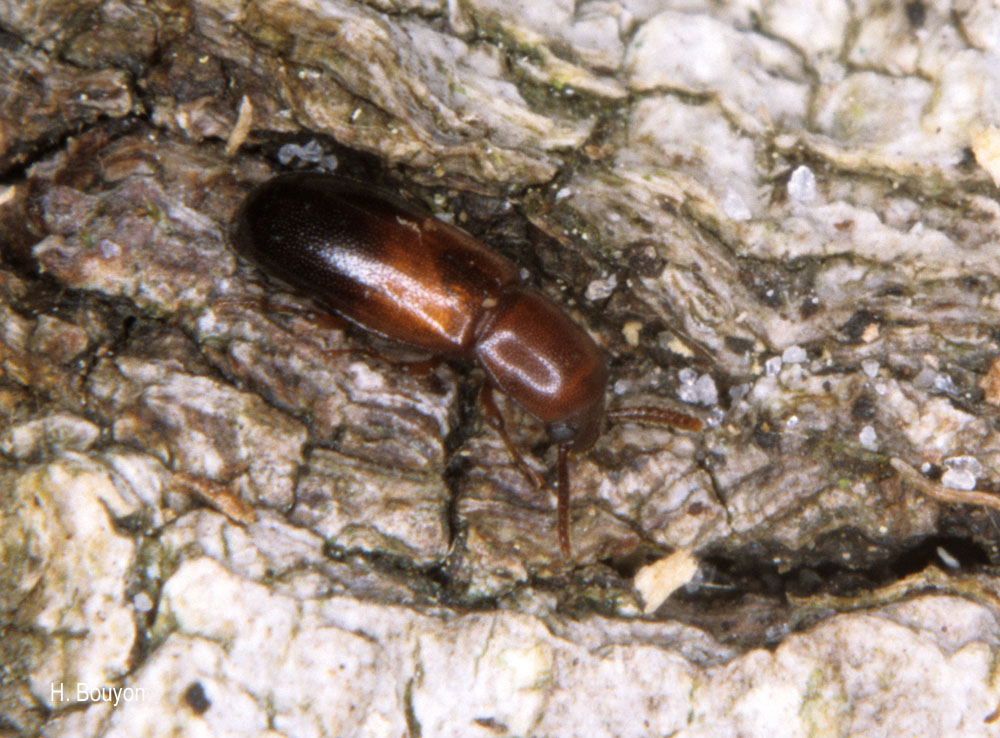 Corticeus bicoloroides