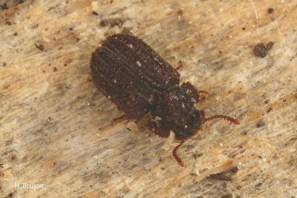 Eledonoprius armatus