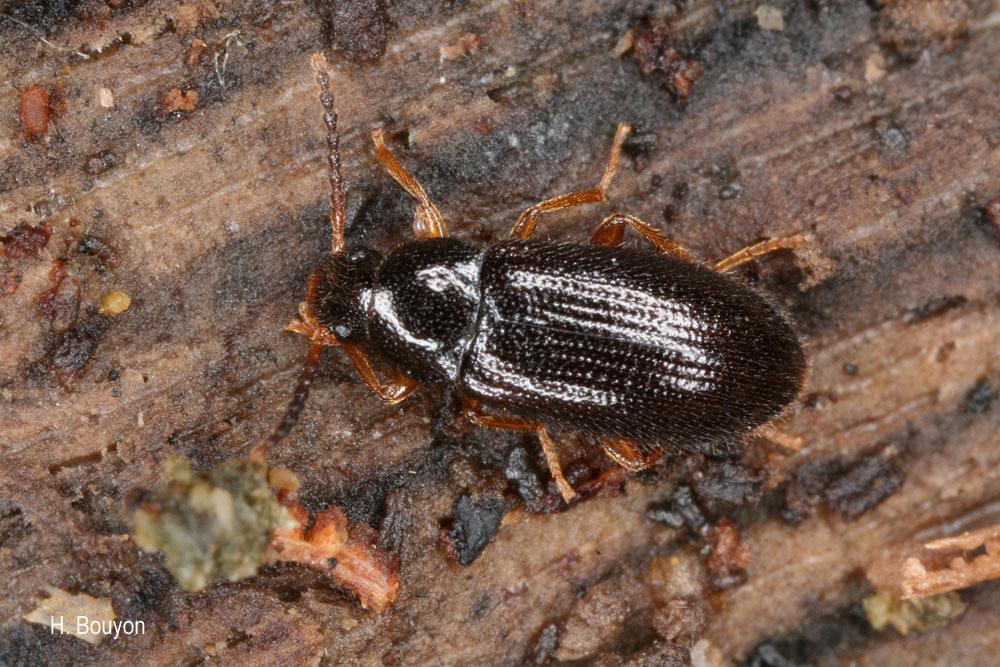 Mycetochara maura