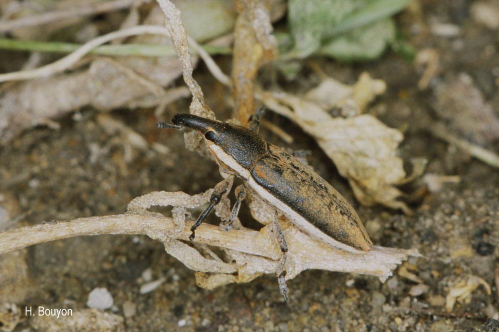 Lixus albomarginatus