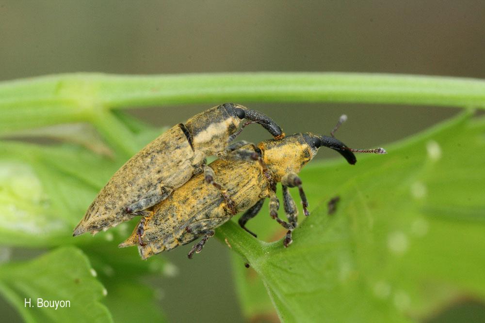 Lixus mucronatus