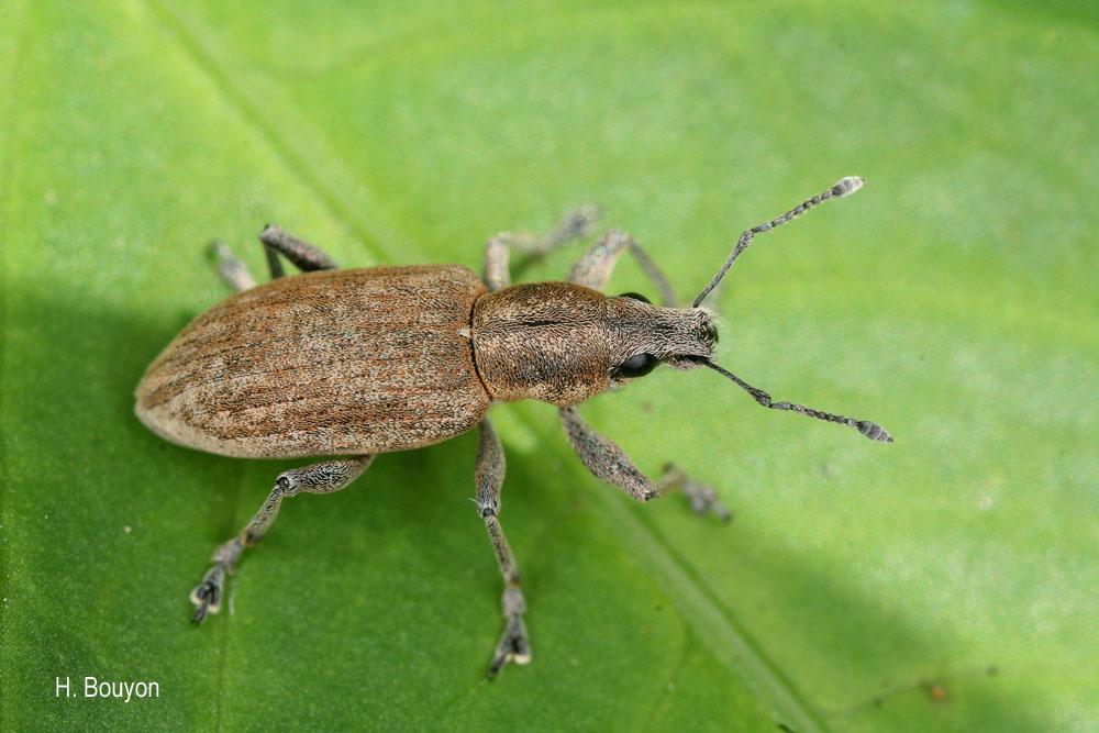 Tanymecus palliatus