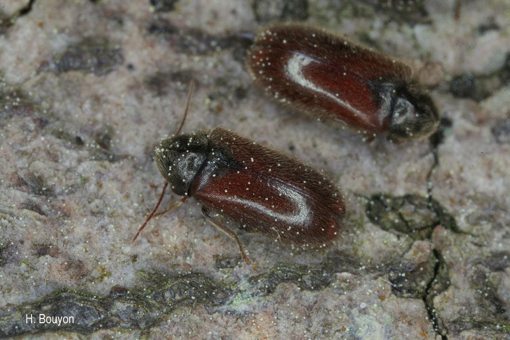 Hyperisus plumbeum