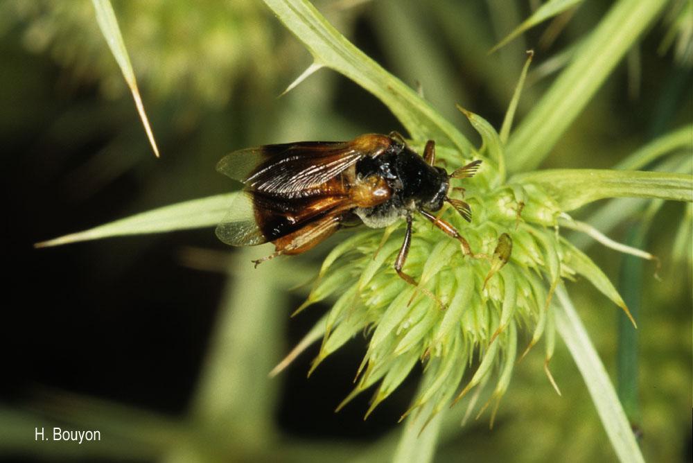Ripiphorus subdipterus