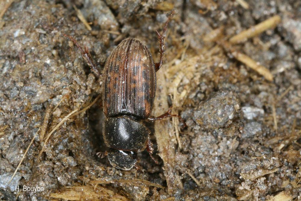 Euheptaulacus carinatus