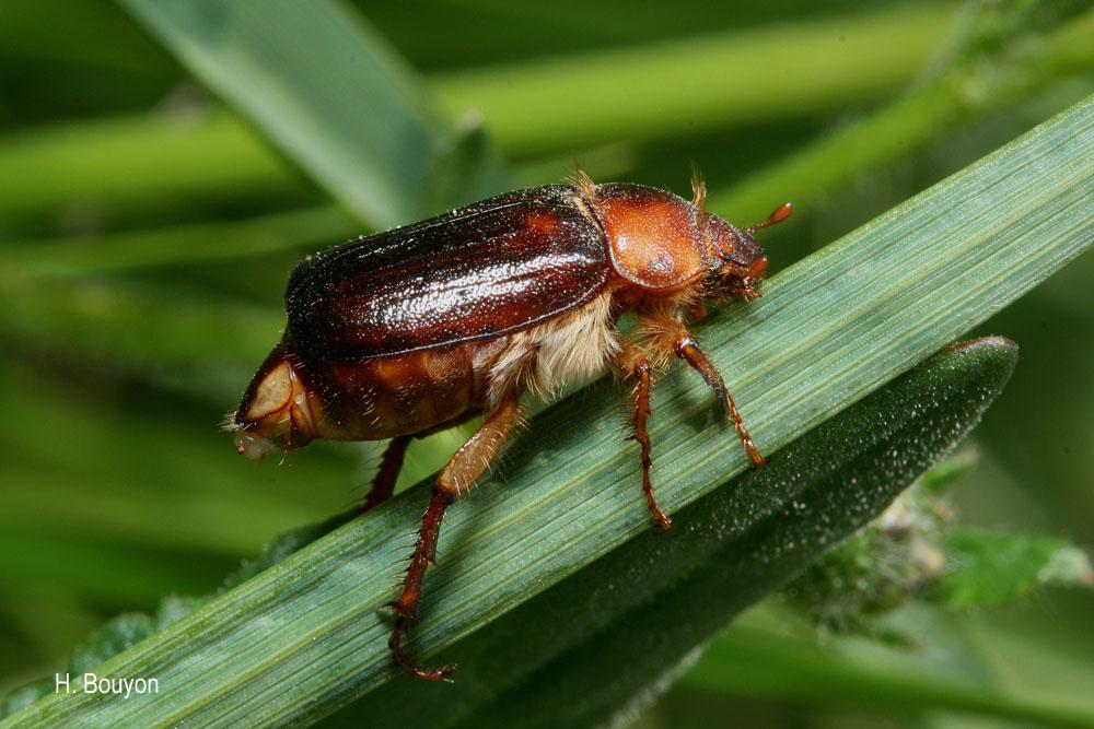 Rhizotrogus maculicollis