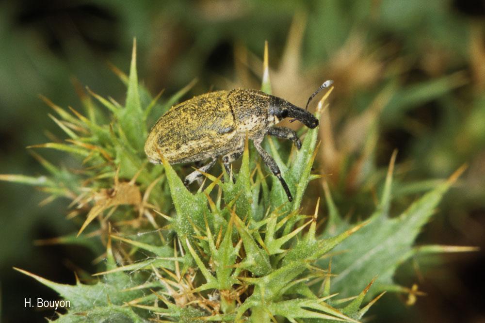 Larinus obtusus