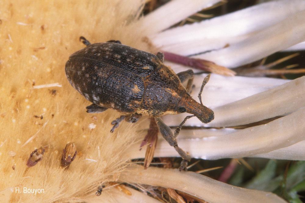Larinus ferrugatus