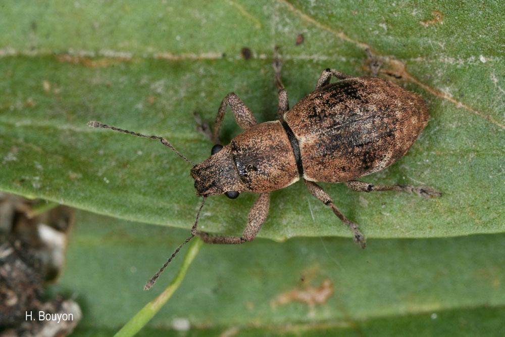 Naupactus cervinus