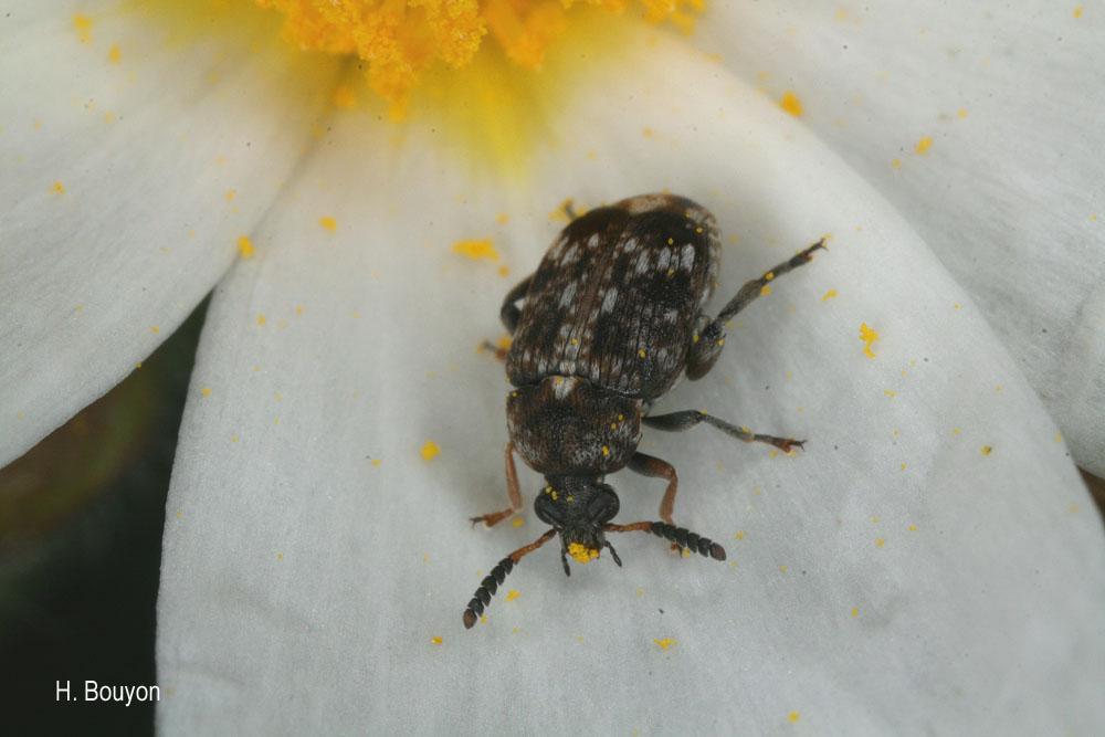 Bruchus affinis