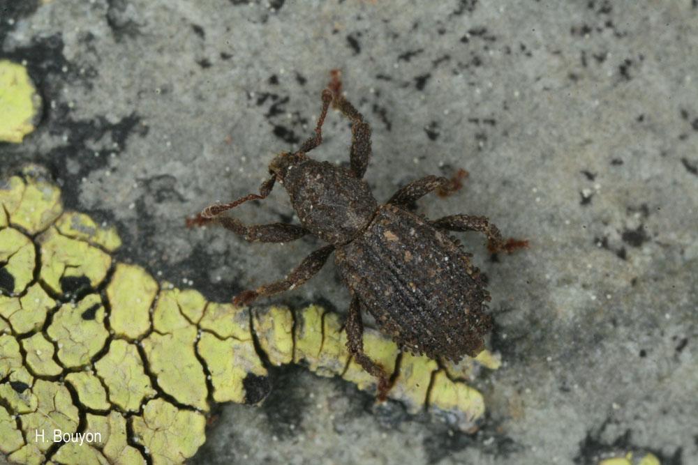 Dichotrachelus verrucosus