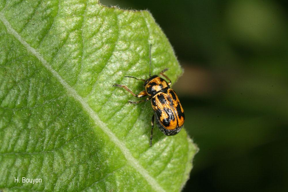 Pachybrachis pallidulus