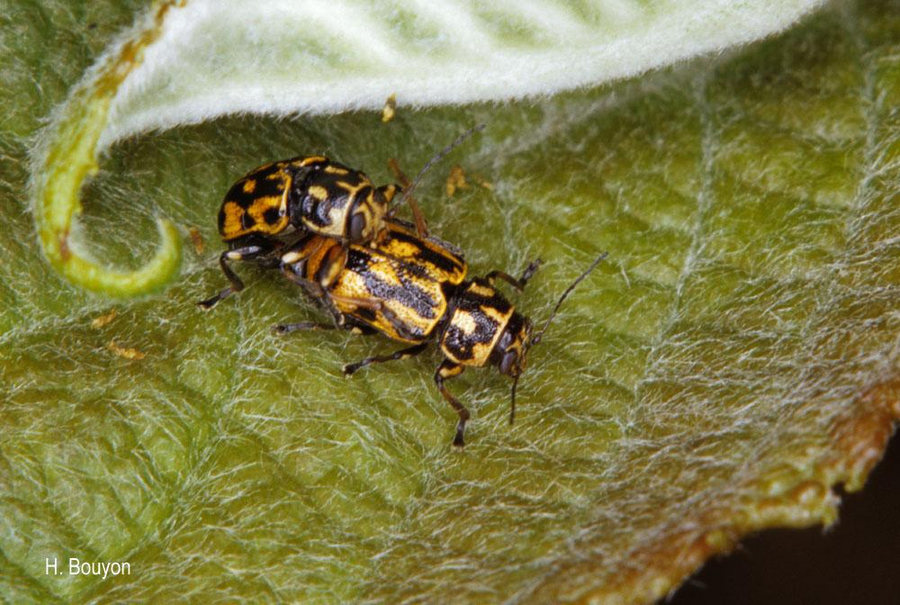 Pachybrachis sinuatus