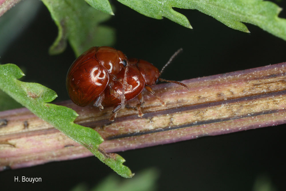Sphaeroderma rubidum