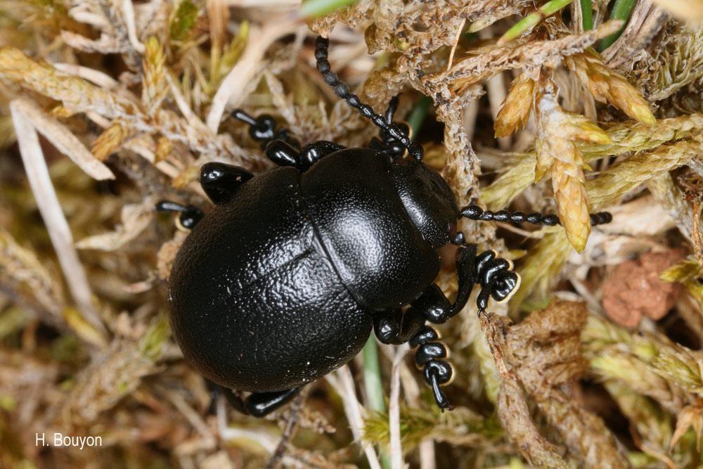 Timarcha goettingensis
