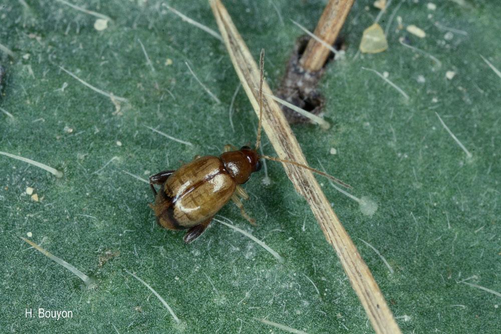 Longitarsus jacobaeae