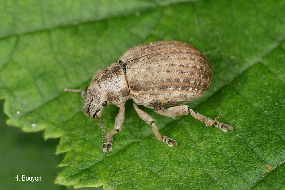 Attactagenus plumbeus