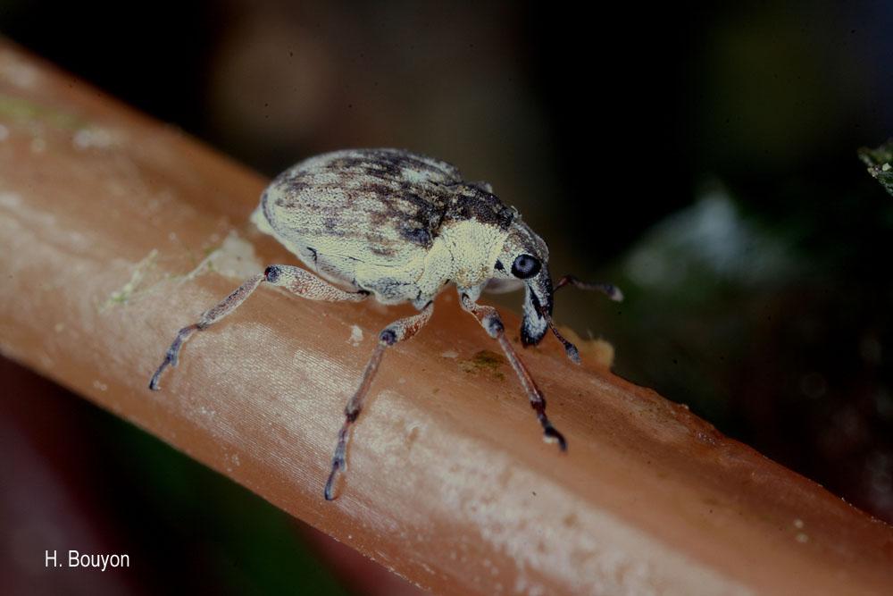 Phytobius leucogaster