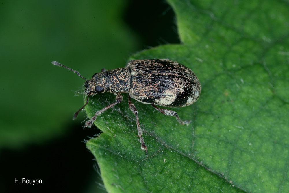 Polydrusus sparsus