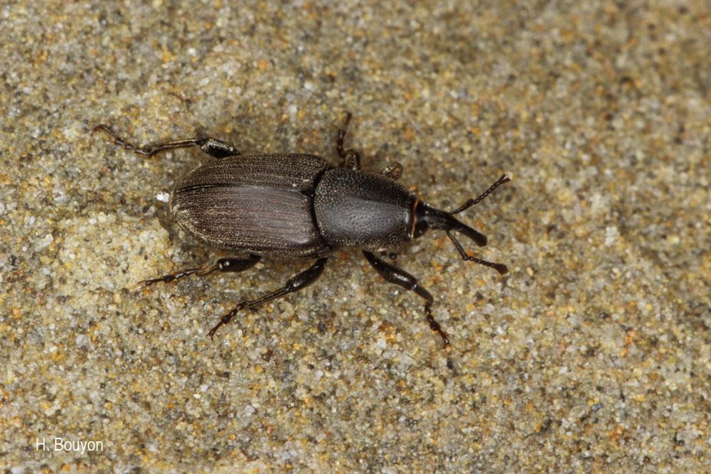 Sphenophorus abbreviatus